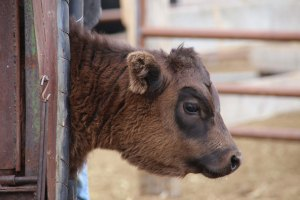 calf, waiting in the chute